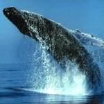 walvis